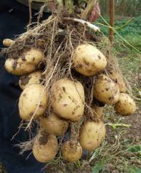 Самый лучший способ выращивания картофеля